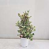 스윗하트/고무나무/공기정화식물/반려식물/온누리 꽃농원|Ficus elastica