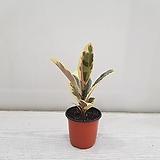 수채화고무나무/공기정화식물/반려식물/온누리 꽃농원|Ficus elastica