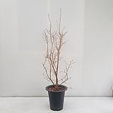 블루베리/공기정화식물/반려식물/온누리 꽃농원|
