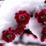 홍매화 설중매 품종♥멋진 외목수형 상품♥화분상품/분달이♥겹꽃/홑꽃|