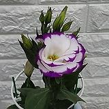 ♥리시안셔스 ♥흰색과 보라색으로 피는 꽃입니다,