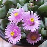 [진아플라워] 소녀같은 꽃을 피우는 다육이 백봉국069 