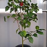 동백나무 4년생 화분