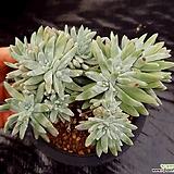 화이트그리니20두이상.696 Dudleya White gnoma(White greenii / White sprite)