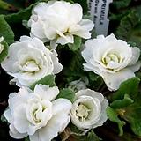 장미앵초-백화|