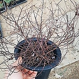 조팝나무 (황금조팝) 개화주 (1주)/지피식물/노란잎