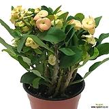 꽃기린(노란색꽃/중품)|