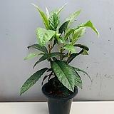 비파나무 - 동일품배송