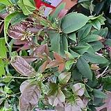 수국 핑크 특0024 |Hydrangea macrophylla
