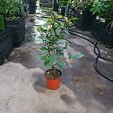함소화 야생화 소중품 공기정화식물 반려식물 69|