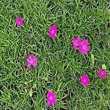 사계패랭이(30포트묶음)진분홍꽃,목하원예조경
