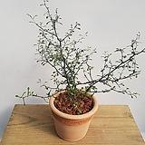 수채화고무나무 중품