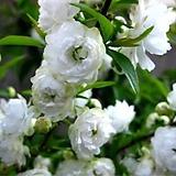 겹꽃 백매화 설중매 품종 화분상품♥멋진 외목수형♥스탠다드 타입|
