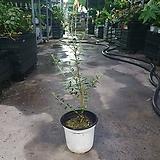 올리브나무아르베키나 소중품 야생화 69|