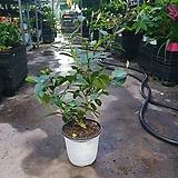 함소화 야생화 중품 공기정화식물 반려식물 119|