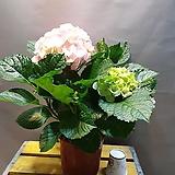 연핑크수국( 꽃송이가 큰 아이에요) 새로입고 |Hydrangea macrophylla