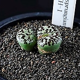3835-Conophytum cv.안수희安秀姬7두