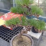 해송소나무근상대품-애경사 소장용|
