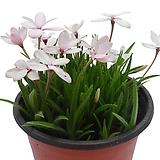 흰꽃설란(로드히포시스)