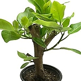 벵갈고무나무(목대/중품)|