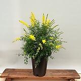 [진아플라워] 노랑봄꽃 애니시다 화분 230 
