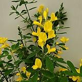 [진아플라워] 노랑색 봄마중 애니시다 109 