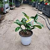 나무산호수 공기정화식물 미세먼지제거식물 59|
