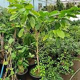 커피 나무 특 상품 열매가득|