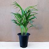 [진아플라워] 1등 공기정화식물 아레카 야자 099 