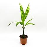 세브릿지 야자나무|