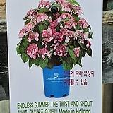 ♥수입목수국1 ♥촬영일 3월4일|Hydrangea macrophylla