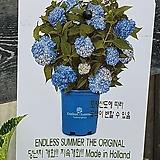♥수입목수국2 ♥촬영일 3월4일|Hydrangea macrophylla