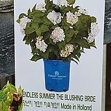 ♥수입목수국3 ♥촬영일 3월4일|Hydrangea macrophylla