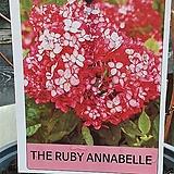 ♥루비아나벨라 수국 ♥노지월동가능|Hydrangea macrophylla