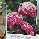 ♥목수국 아나벨라(핑크) ♥노지월동가능|Hydrangea macrophylla
