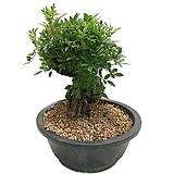 미니찔레나무근상(중품)|