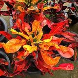 Codiaeum Variegatum Blume Var Hookerianum