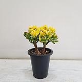 염좌금/공기정화식물/반려식물/온누리 꽃농원|