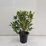열매치자나무/공기정화식물/반려식물/온누리 꽃농원|