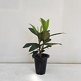 비파나무/공기정화식물/반려식물/온누리 꽃농원|