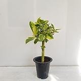 뱅갈고무나무/공기정화식물/반려식물/온누리 꽃농원|Ficus elastica