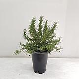 로즈마리/공기정화식물/반려식물/온누리 꽃농원|Rosemary