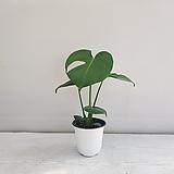 몬스테라/공기정화식물/반려식물/온누리 꽃농원|