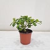 만리향/공기정화식물/반려식물/온누리 꽃농원|