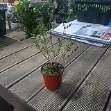 미스김라일락 야생화 공기정화식물 꽃 39|