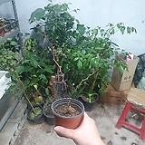복분자나무 과실수 신상품 소품 39|