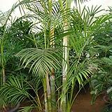 아레카야자나무-오래묵은것공기정화의킹최고명품|