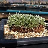Avonia Alstonii 대형알스토니 적화 Avonia quinaria ssp Alstonii