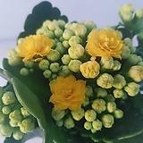 꽃이가득달린칼란디바퀸로즈(노랑)