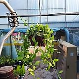 디시디아왕반볼 공기정화식물 수입식물 공중식물 99|